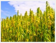 Talking HEMP with Georgia's Agriculture Commissioner Gary Black